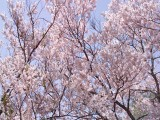 ペンション内の桜