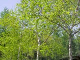 農場の白樺林