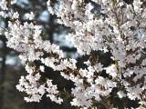 ペンションの桜です