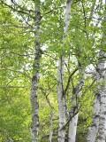 白樺の新緑は特にまぶしい
