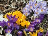 別荘地のお庭に咲くクロッカス