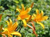 ニッコウキスゲのお花