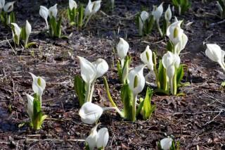 咲き乱れるミズバショウの花(文化園)