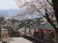 桜の中のお店