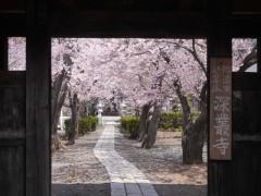 深叢寺の桜