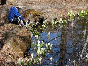 池に咲くミズバショウ