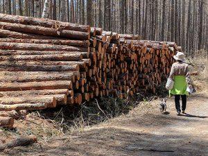 間伐材の横を歩く