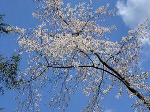 まだ桜がきれいです。ウソみたい!