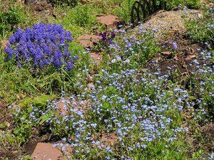 庭のワスレナグサの群生