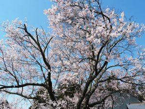 原村の桜の名所です