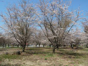 もみの湯の桜です