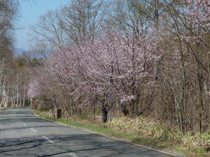 アルピコ別荘地の桜